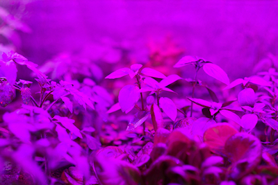 indoor-LED-grow-light-indoor-farming